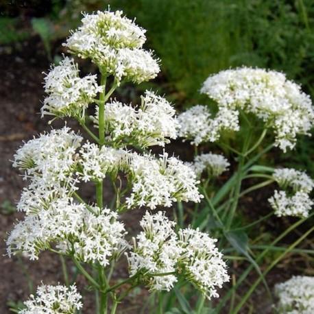 Centranthus ruber' Alba'