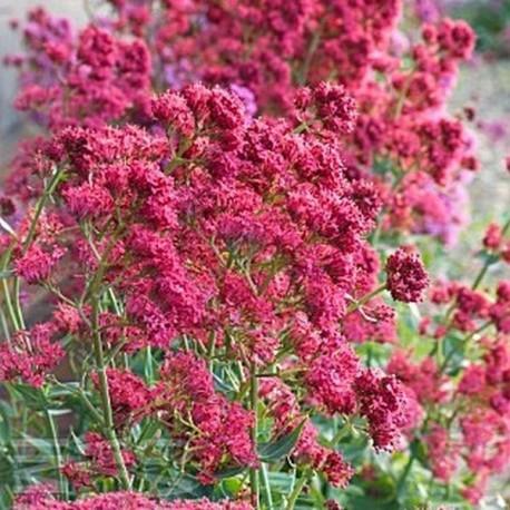 Centranthus ruber 'Coccineum'