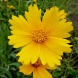 Coreopsis lanceolata 'Grandiflora'