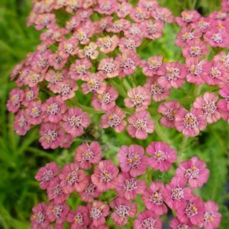 Achillea millefolium 'Forncett Fletton'
