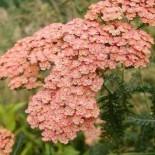 Achillea millefolium 'Salmon Beauty'