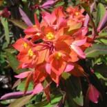 Euphorbia griffithii 'Fireglow '