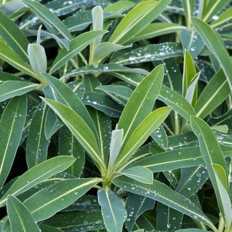 Euphorbia x pasteurii