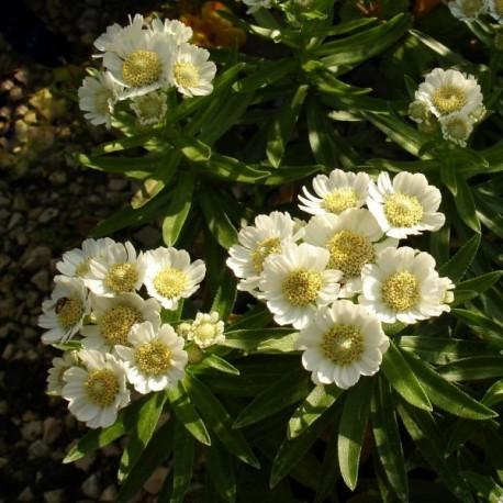 Achillea ptarmica 'Nana Compacta'