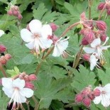 Geranium macrorrhizum 'Spessart'
