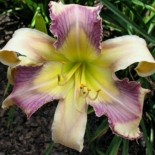 Hemerocallis 'Aces Full'