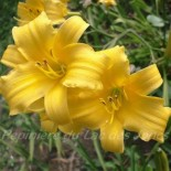 Hemerocallis 'After the Rain'