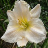 Hemerocallis 'Agape Love'
