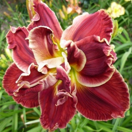 Hemerocallis 'Amanda's Little Red Shoes'