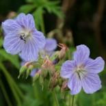 Geranium pratense 'Mrs Kendal Clark'