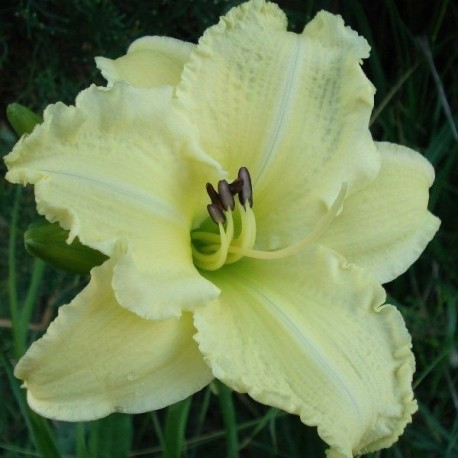 Hemerocallis 'Atlanta Bouquet'