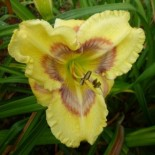 Hemerocallis 'Aztec Headdress'