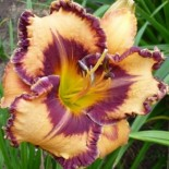 Hemerocallis 'Bama Girl Tee'