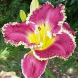 Hemerocallis 'Bettylen'