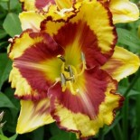 Hemerocallis 'Beyond the Moon'