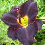 Hemerocallis 'Black Briar Bay'