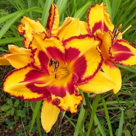 Hemerocallis 'Blissful Sojourn'