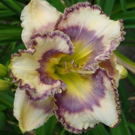 Hemerocallis 'Blue me Away'