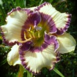 Hemerocallis 'Bluegrass Music'