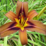 Hemerocallis 'Brown Witch'
