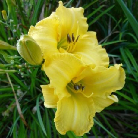 Hemerocallis 'Buttercup'