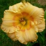 Hemerocallis 'Cadran solaire'