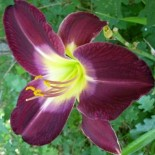 Hemerocallis 'Cairo Night'