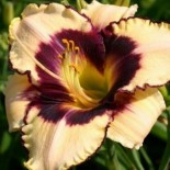 Hemerocallis 'Canadian Border Patrol'