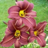 Hemerocallis 'Candy Clouds'