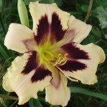Hemerocallis 'Celebration of Angels'