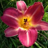 Hemerocallis 'Cherry Cheeks'