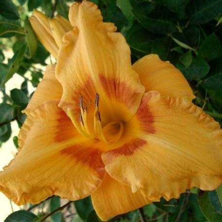 Hemerocallis 'Cherry Eyed Pumpkin'