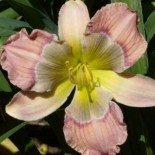 Hemerocallis 'Child of Atlantis'