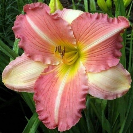 Hemerocallis 'China Bride'