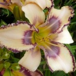 Hemerocallis 'Cindy's Tie Dye'