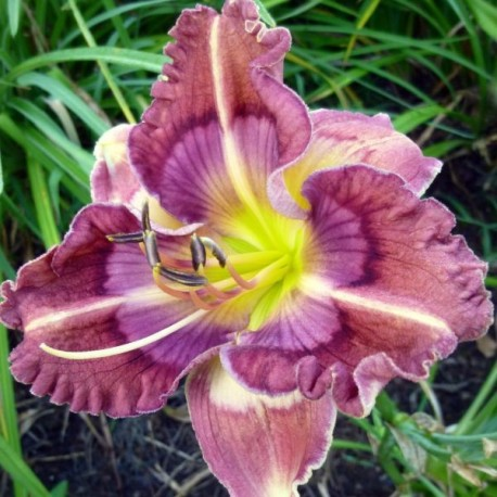 Hemerocallis 'Cosmic Kaleidoscope'