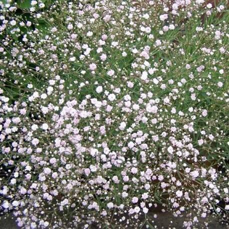 Gypsophilla paniculata 'Rosenschleier'
