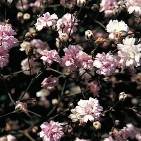Gypsophillla paniculata 'Rosenschleier'