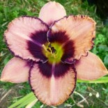 Hemerocallis 'Daring Dilemma'