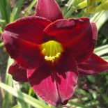 Hemerocallis 'Dark Avenger'