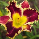 Hemerocallis 'Darkness Reigns'
