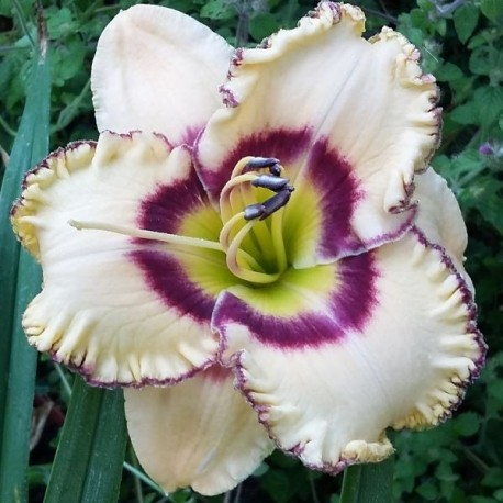 Hemerocallis 'Delight of My Eyes'