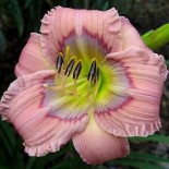 Hemerocallis 'Dragon Dreams'