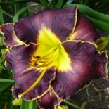 Hemerocallis 'Duck's Dark Side'