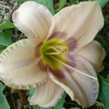 Hemerocallis 'Elegantissima'