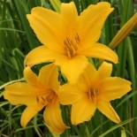 Hemerocallis 'Emily Brown'