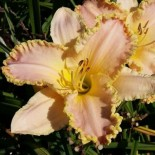 Hemerocallis 'Enchanted April'