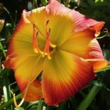 Hemerocallis 'Evidence of Aliens'