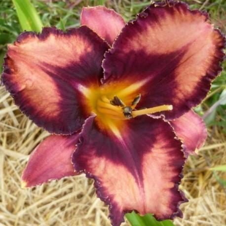 Hemerocallis 'Extravagant'