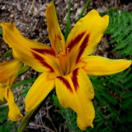 Hemerocallis 'Flamboyant'